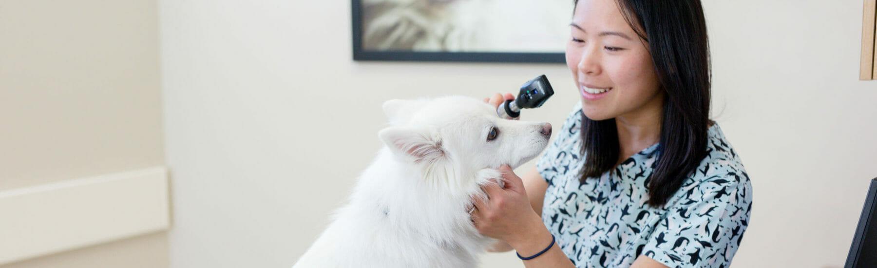White dog getting an eye exam